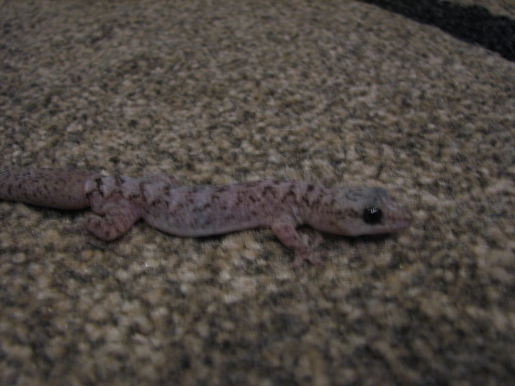 Gecko made its way inside